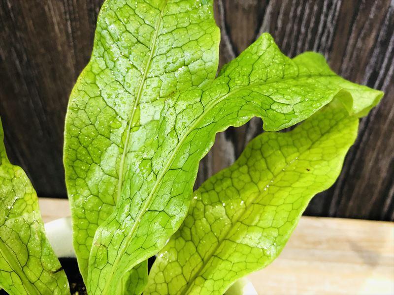 観葉植物のクロコダイルファーン寄りの写真(葉をクローズアップ)