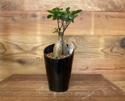 人気の観葉植物♪ オンズガーデン「ガーデニング専門花屋」