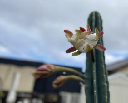 月下美人が咲きました❀ オンズガーデン「ガーデニング専門花屋」
