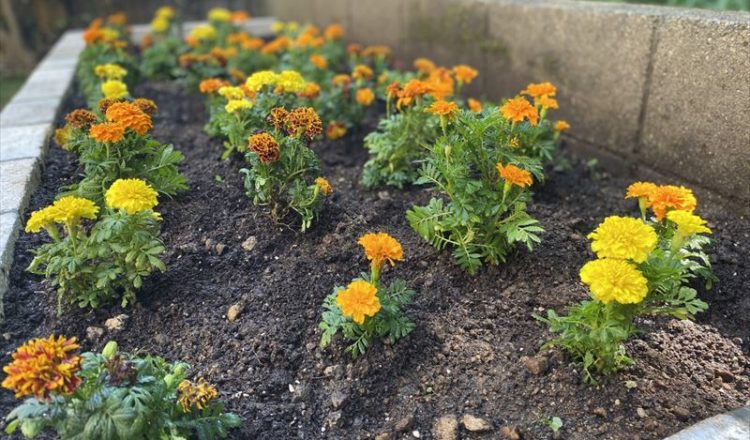 マリーゴールド植え込み❀ オンズガーデン「ガーデニング専門花屋」
