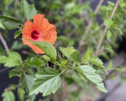 【オンズガーデン】ハイビスカスが咲きました♪