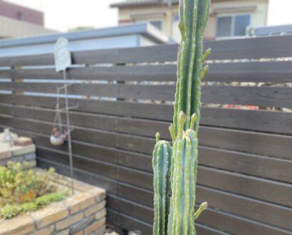 【オンズガーデン】柱サボテンに花が・・・♪